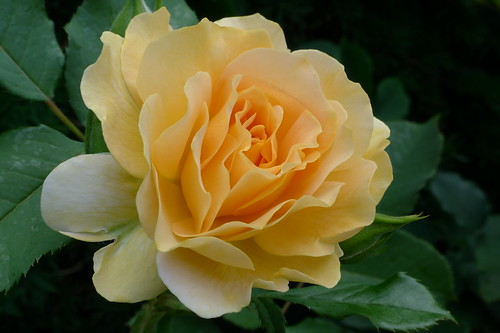 2011-07-15 Honey Perfume (floribunda)