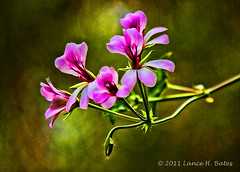 2010-10-02 09-19-58 - IMG_2063 Geranium blooms (Degilbo on flickr) Tags: canon pinkflower geranium hdr eos500d lightroom3 topazadjust