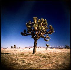 Joshua Tree (keylargo_diver) Tags: california 120 film analog mediumformat toy holga desert lofi joshuatree plastic mojavedesert keylargodiverflickrcom