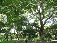 Sterculia foetida (tranquilometro) Tags: tree coral flora miami exotic tropical montgomery gables subtropical rare southflorida montgomerybotanicalcenter tropicalfloweringtree