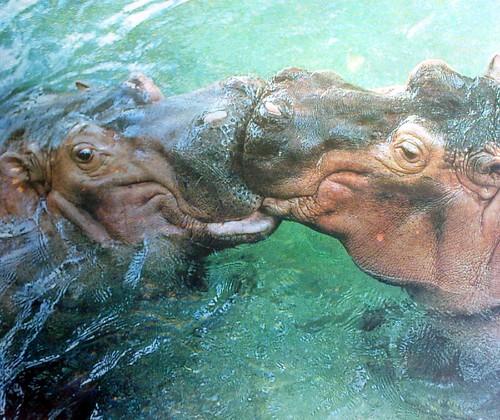 [フリー画像] 動物, 哺乳類, カバ, カップル (動物), キス, 201107221100