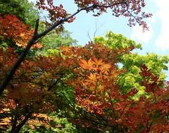 sunlight through Japanese maple leaves (CP Shelton) Tags: japanesemaple fortworthtexas fortworthbotanicgardens