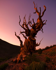 Bristlecone Bones #2 -- White Mountains, California (Jeff Swanson -- www.interfacingnature.com) Tags: twilight whitemountains glowing bristleconepine schulmangrove sigma1020mmf456exdchsm nikond7000 10200feet