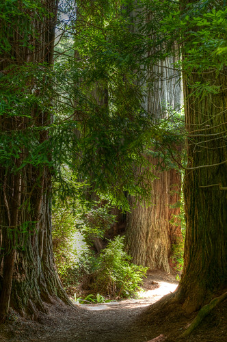 HDR - A path in the Redwoods
