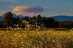 Behind flowers (Karmen Smolnikar) Tags: flowers trees cloud evening slovenia slovenija vodice