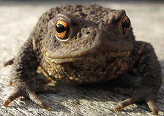 The Creature From The Top Field... (russell_w_b) Tags: toad commontoad