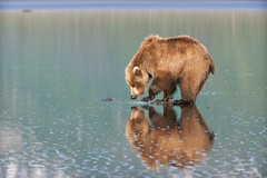 Reflecting Brown Bear (Glatz Nature Photography) Tags: alaska reflections mammal ngc predator animalplanet brownbear cookinlet grizzlybears brownbears supershot lakeclarknationalpark bestcapturesaoi alaska2010 amazingwildlifephotography sunrays5