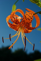 Tiger Lily (TheBeesKnees85) Tags: flowers blue summer orange usa black flower green art nature garden ma photography photo nikon lily bokeh tiger tigerlily 2011 flowersadminfave d3000