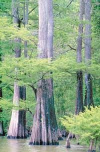 Tupelo-baldcypress swamp in the DeSoto National Forest in Mississippi. Photo by USDA Forest Service.