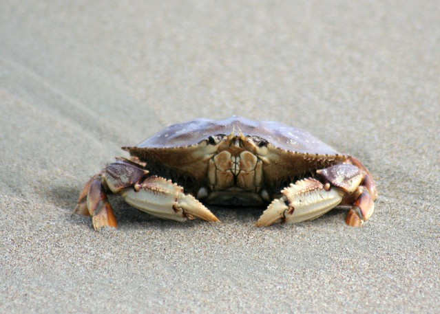 Point Reyes crab