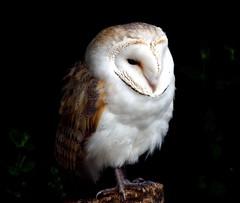 Barn Owl (Buzzard2001) Tags: barnowl