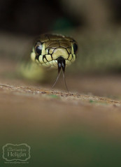 Juvenile Grass Snake - Natrix natrix (Richard Stafford Photography) Tags: macro nature closeup cornwall reptile snake wildlife heligan extensiontube grasssnake natrixnatrix themacrogroup macrolife richardstafford
