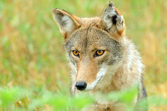 Portrait Of A Coyote (affinity579) Tags: coyote wild summer portrait nature animal closeup eyes nikon quebec wildlife ngc profile npc 70200mm ecomuseum 2xteleconverter coth specanimal d700 natureselegantshots mothernaturesgreenearth onlythebestofnature