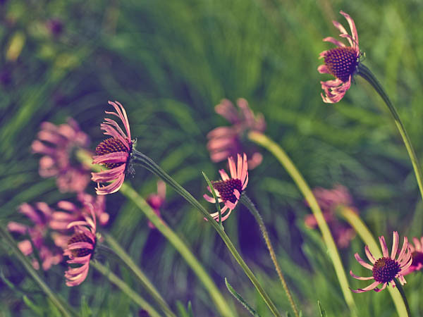 Coneflowers, Sideview