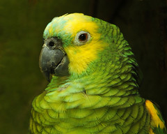 Cosmo (J Bespoy) Tags: portrait canada green eye yellow vancouver amazon bc britishcolumbia beak parrot vancouveraquarium cosmo freeflight coth greatphotographers allrightsreserved bluefronted specanimal colorphotoaward grahamamazongallery