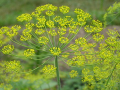 Dill (eyriel) Tags: flower nature yellow garden flavor tasty herb herbgarden flavoring photocontesttnc11 dailynaturetnc11