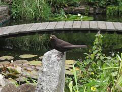 blackbird infront of pond (squeezemonkey) Tags: bridge garden countryside pond waterlilies blackbird tetford