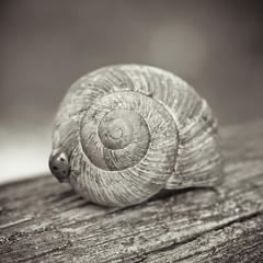 En t, les escargots meurent de soif, laissant leur coquille derrire eux. (F. Rima) Tags: macro sepia square 50mm dof snail olympus ladybird shallow escargot carr coccinelle ep1 zd