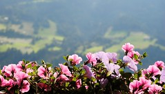 Vacation (RiekePhotography) Tags: lighting pink flowers light summer vacation holiday mountains alps macro green nature colors landscape austria tirol sterreich blurry nikon focus colours bokeh atmosphere explore tyrol zillertal 2011 stumm explored d3000