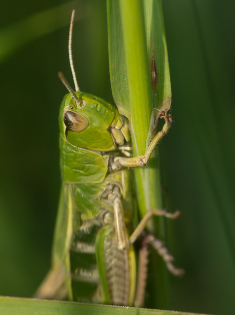 meadow grasshopper close up 2