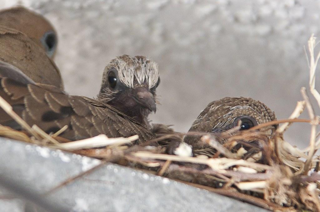 doves, summer, 2011