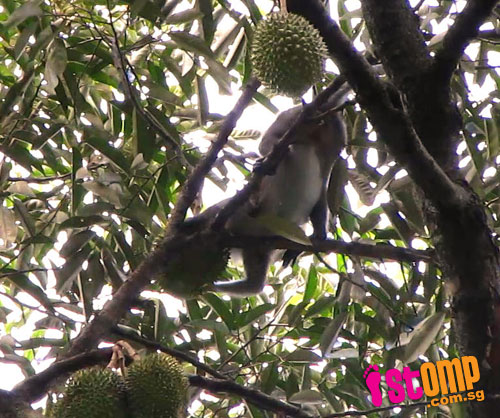 They're durian lovers too: Squirrels and monkeys go for king of fruits at Bt Batok