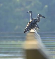 shhh.... be vewy vewy quiet (huntington girl) Tags: beach heron birds night evening nikon south huntington watch carolina marsh railing immature d7000 photocontesttnc11