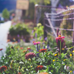 Broadway Fence. (tumbleweed.in.eden) Tags: fence butterfly garden colorado bokeh broadway friday zinnias lyons hff cararosephotospresets