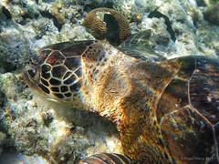 20110725-58-Chelonia mydas green sea turtle (Roger T Wong) Tags: sea green coral island lumix underwater turtle australia qld queensland tropical greatbarrierreef cay chelonia mydas panasoniclumix ladyelliotisland greatbarrierreefmarinepark panasonicdmcts3