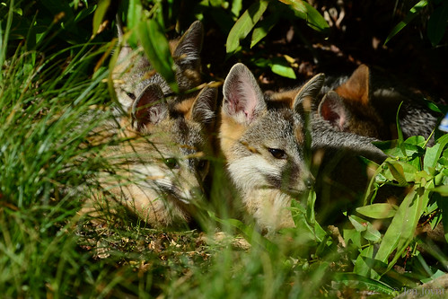 Fox family rests together