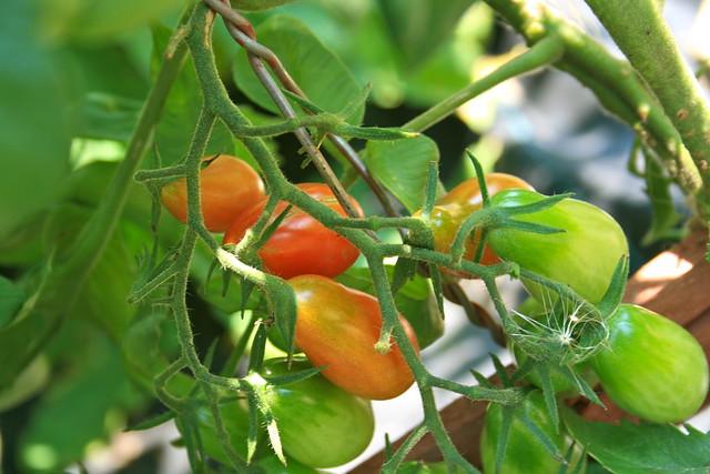 Tomatos Ripening