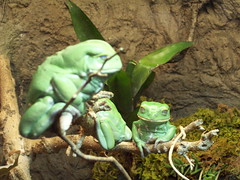 green asoska frogs (Nature N Legos) Tags: animal starwars frogs