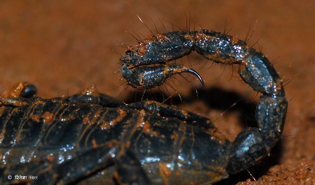 Scorpian