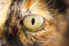 kedi gözü.. (peakpointt) Tags: macro eye makro cateye göz kedigözü