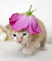 20110708_15328b (Fantasyfan.) Tags: pet flower cute hat animal topv111 topv2222 walking furry topv555 topv333 kitten head topv1111 small topv999 adorable fluffy stepping topv777 kauhu fantasyfanin highqualityanimals siirretty