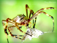 Spider (Tony Borrach) Tags: brazil macro reflection nature true rio closeup brasil riodejaneiro canon de 1 spider is janeiro bresil arachnid natureza brasilien tony powershot level brasile sul brsil sudamerica aranha americadosul percevejo brazili aracndeos sudamrica flickrs sdamerika   southamericaamrica a590 photoscape itagua itaguai tonyborrach  sudamerique canonpowershota590is mygearandme mygearandmepremium dblringexcellence flickrhivemindgroup flickrstruereflection1