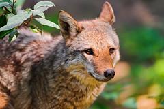 [フリー画像] 動物, 哺乳類, 狼・オオカミ, 201108151100