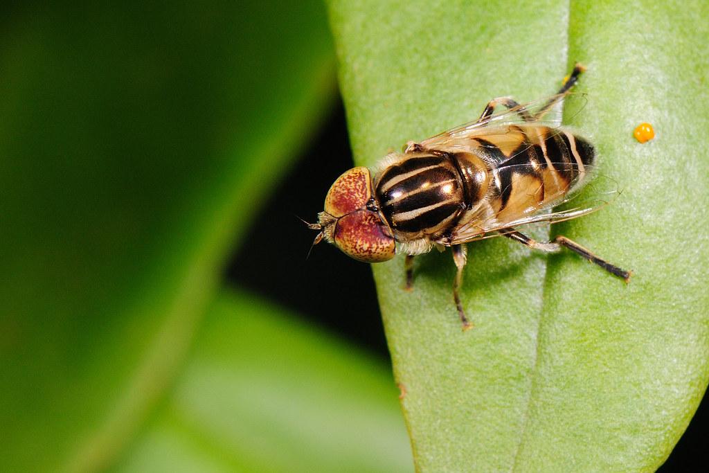 食蚜蠅 Eristalinus sp.