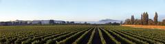 hb-2 (Grape Escape) Tags: morning travel newzealand vacation mist holiday vineyard vines wine winery rows grapes hawkesbay tematapeak blackbridge