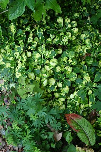 variegated saxifraga