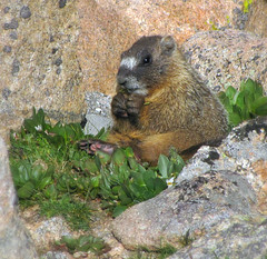 Life is Good ! (Sandra Leidholdt) Tags: young marmot baby wildanimals coloradowildlife groundsquirrel marmots yellowbellied wildlife wild animals frontrange nature sandraleidholdt marmotaflaviventris rodent rodentia yellowbelliedmarmots alpine alpinezone us feet eating behavior cute adorable breakfast paws usa unitedstates america rockymountainhigh mtevans mountevans mountains rockymountains colorado