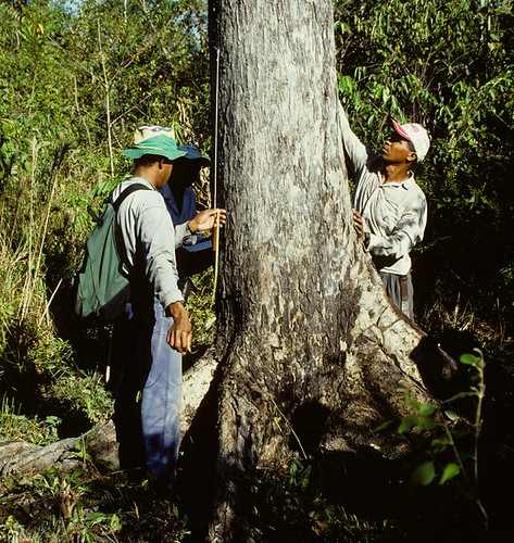 Field assistants measure mahogany tree diameter near the agricultural town of Agua Azul in southeast Pará, Brazil.  Photo by J. Grogan