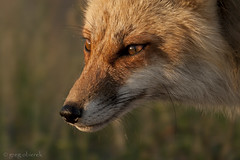 Sunset Fox (greg obierek) Tags: sunset canon fox marsh delaware redfox vulpesvulpes bombayhooknwr dragondaggerphoto