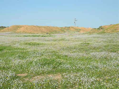 Desert_Wildlfowers_S_of_Urim_IL_2007_02_17_003.jpg