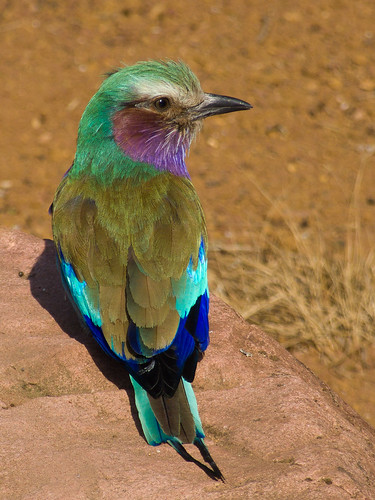 Lilac Breasted Roller in full sun