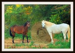 Got any carrots? (stilesathelake) Tags: summer horses nature eating hay whitehorse brownhorse