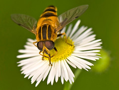 Striped Flower Fly On Fleabane, Eristalis cerealis (aeschylus18917) Tags: park flowers flower macro nature japan season insect tokyo fly spring nikon seasons   nikkor  mimic mimicry nerima hoverfly syrphidae diptera 105mm nerimaku insecta hikarigaoka 105mmf28 eristalis dronefly flowerfly beemimic syrphidfly   aschiza eristalinae hikarigaokapark   105mmf28gvrmicro  eristalistenax brachycera eristalini d700 nikkor105mmf28gvrmicro  syrphoidea eristaliscerealis danielruyle aeschylus18917 danruyle druyle   hanaabe  stripedflowerfly
