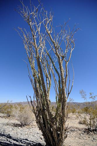 The Ocotillo in Cholla Cactus Garden in Joshua Tree National Park
