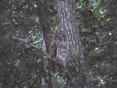 Barred owl (1Watt) Tags: owl barred