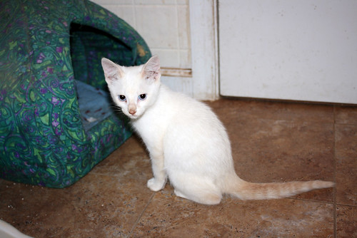 Crispin, a tiny cream colored kitten with a stripey orange tail and pale blue eyes, sits in the bathroom floor, looks toward the camera, and disapproves.